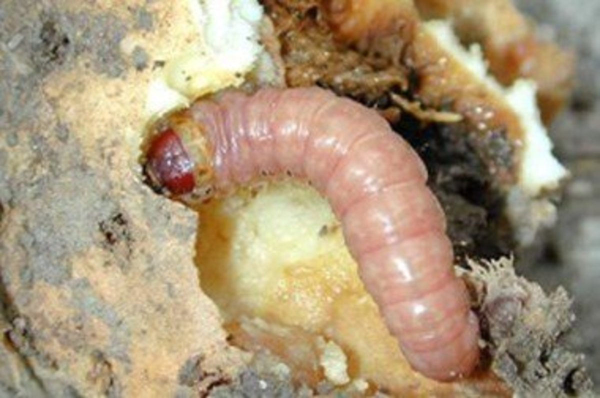 How to Get Rid of Iris Borers