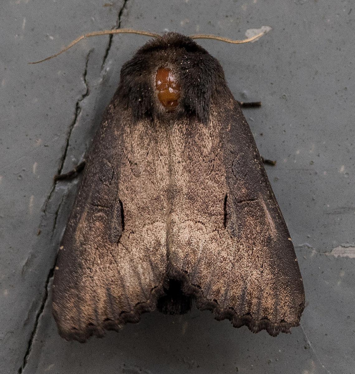 Iris Borer Moth