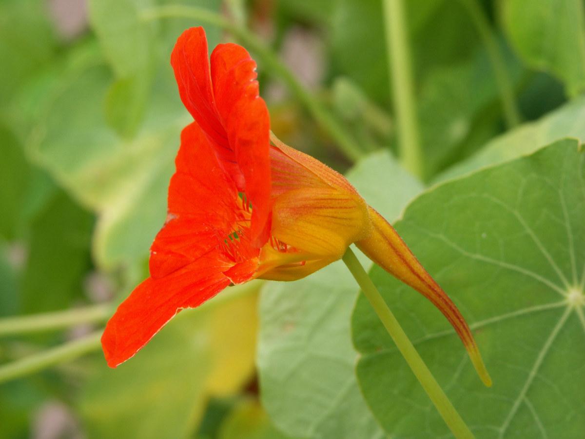A beautiful garden nasturtium.