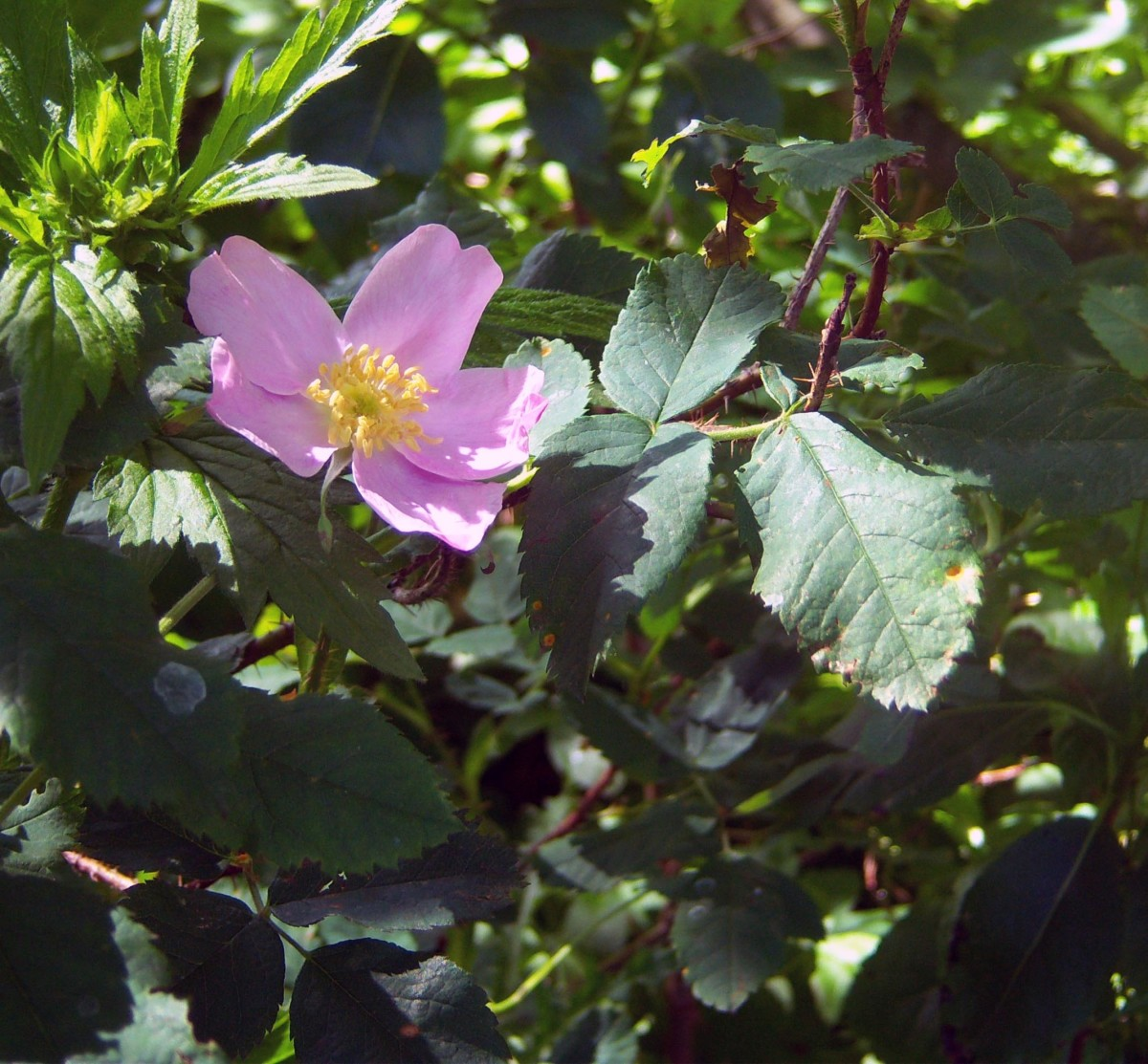 One of the many wild roses blooming during our 2014 trip to the Minnesota shore of Lake Superior.