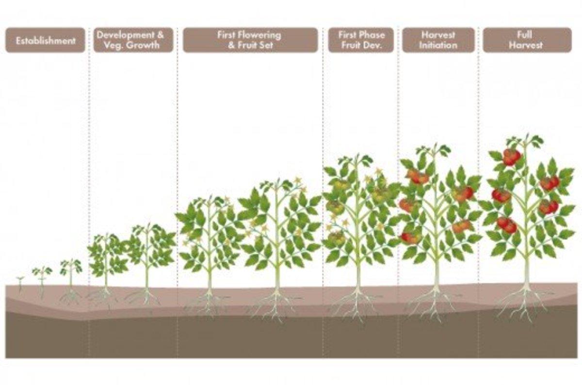 grow-a-tomato-plant