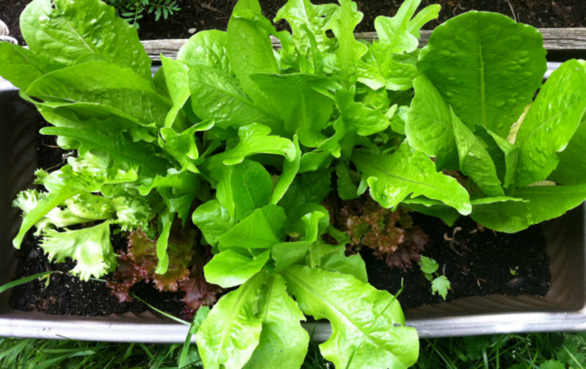 Make a salad anytime with fresh lettuce from your garden.