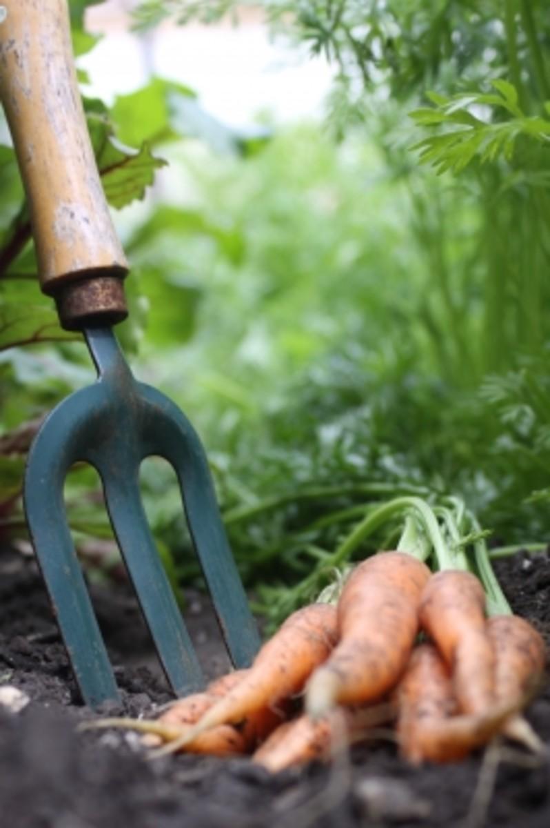 Carrots fresh from the garden.
