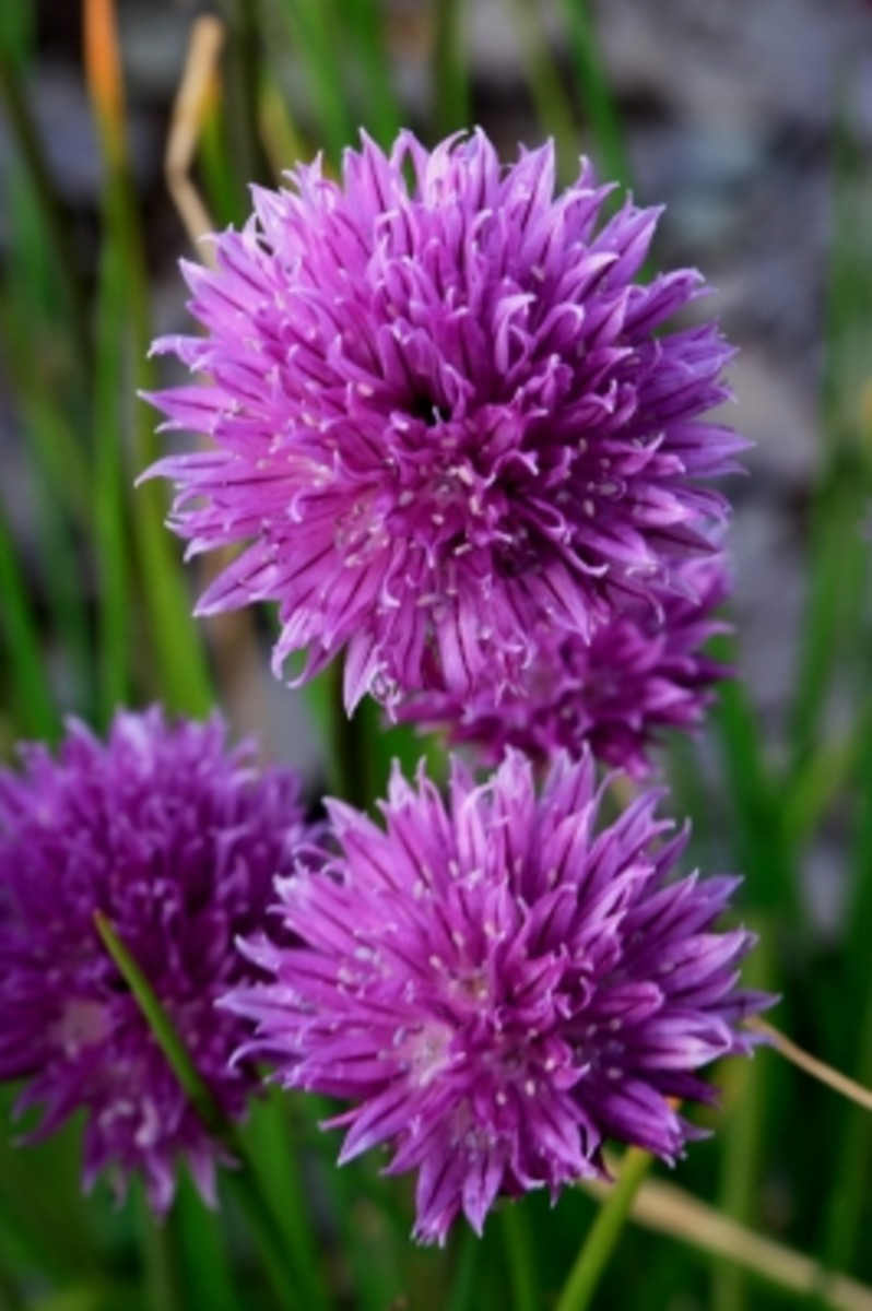 Chives are a great addition to any vegetable garden.