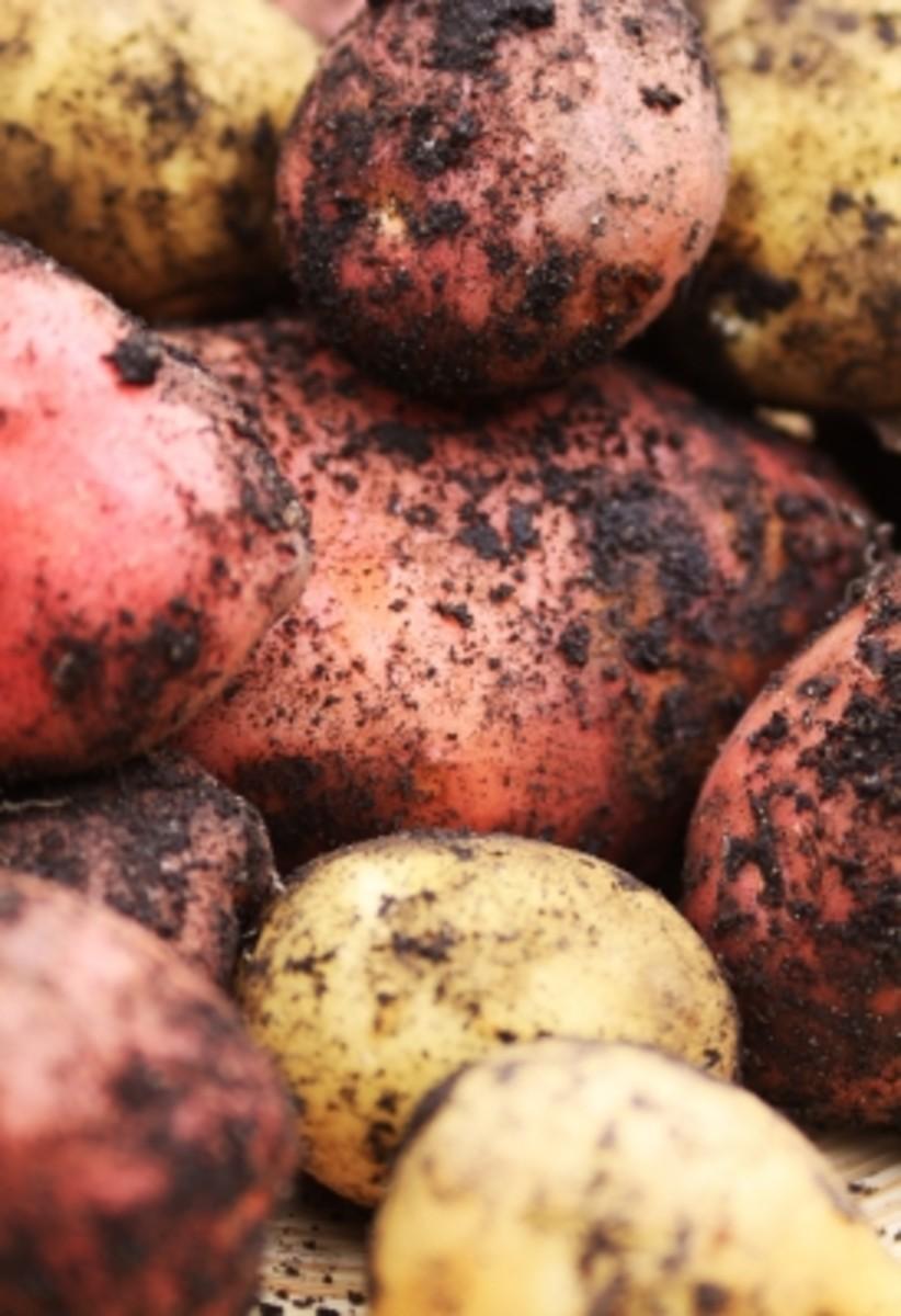 Freshly dug potatoes