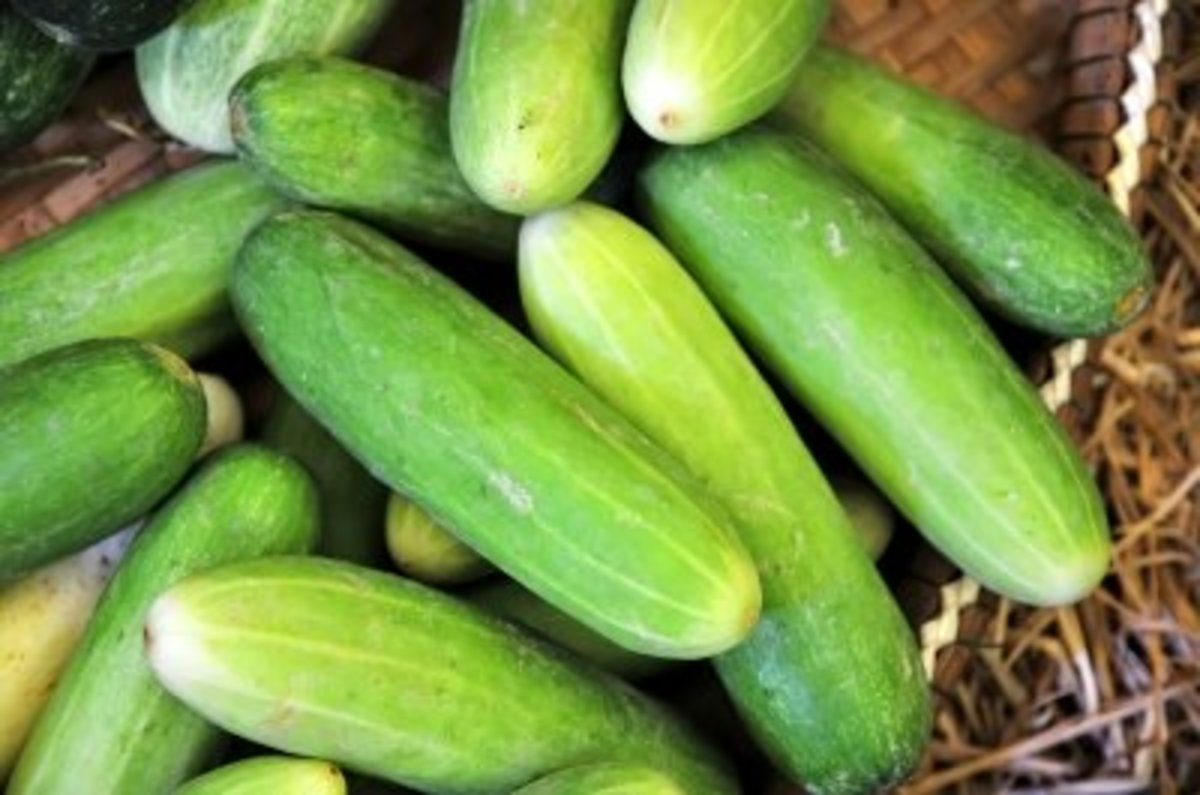 Cucumbers fresh from the garden.