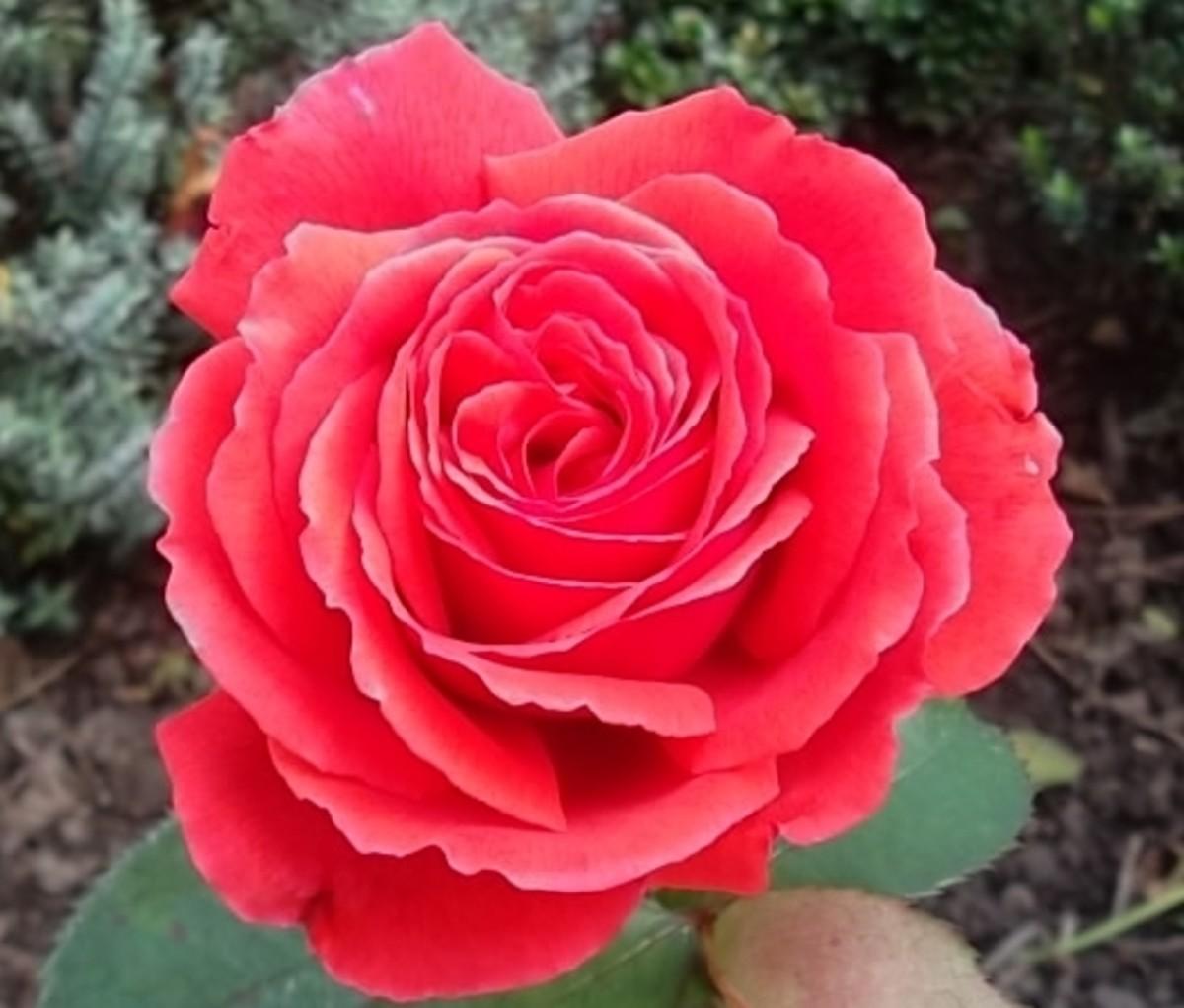 "Hybrid rose ""Alec's Red"""