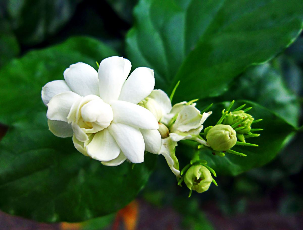 Flower of the Night