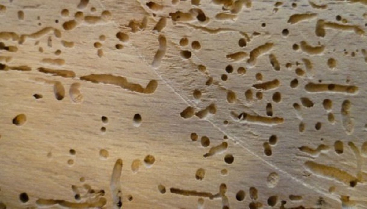 Everything You Need to Know About Wood Boring Beetles