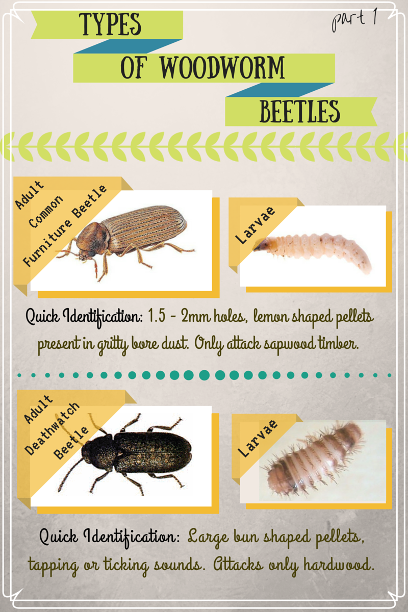 everything-you-need-to-know-about-wood-boring-beetles