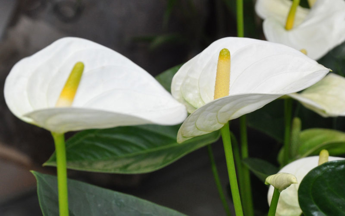 anthurium-the-flower-with-a-heart