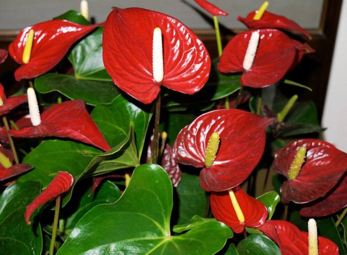 Anthurium: The Flower with a Heart | HubPages