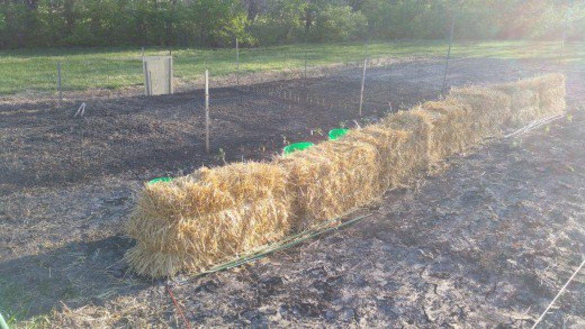 My straw bale garden in the making