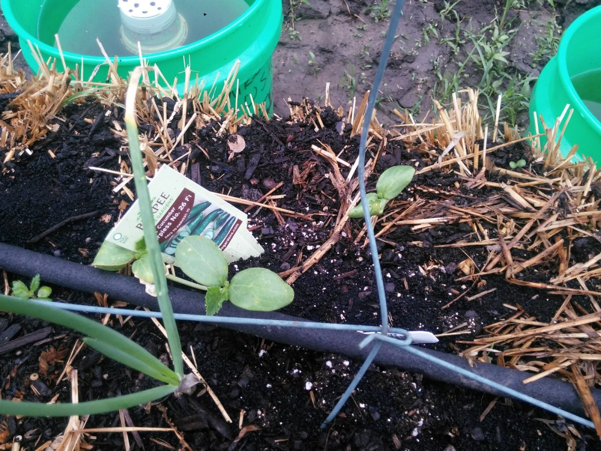 I think these are little cucumber plants