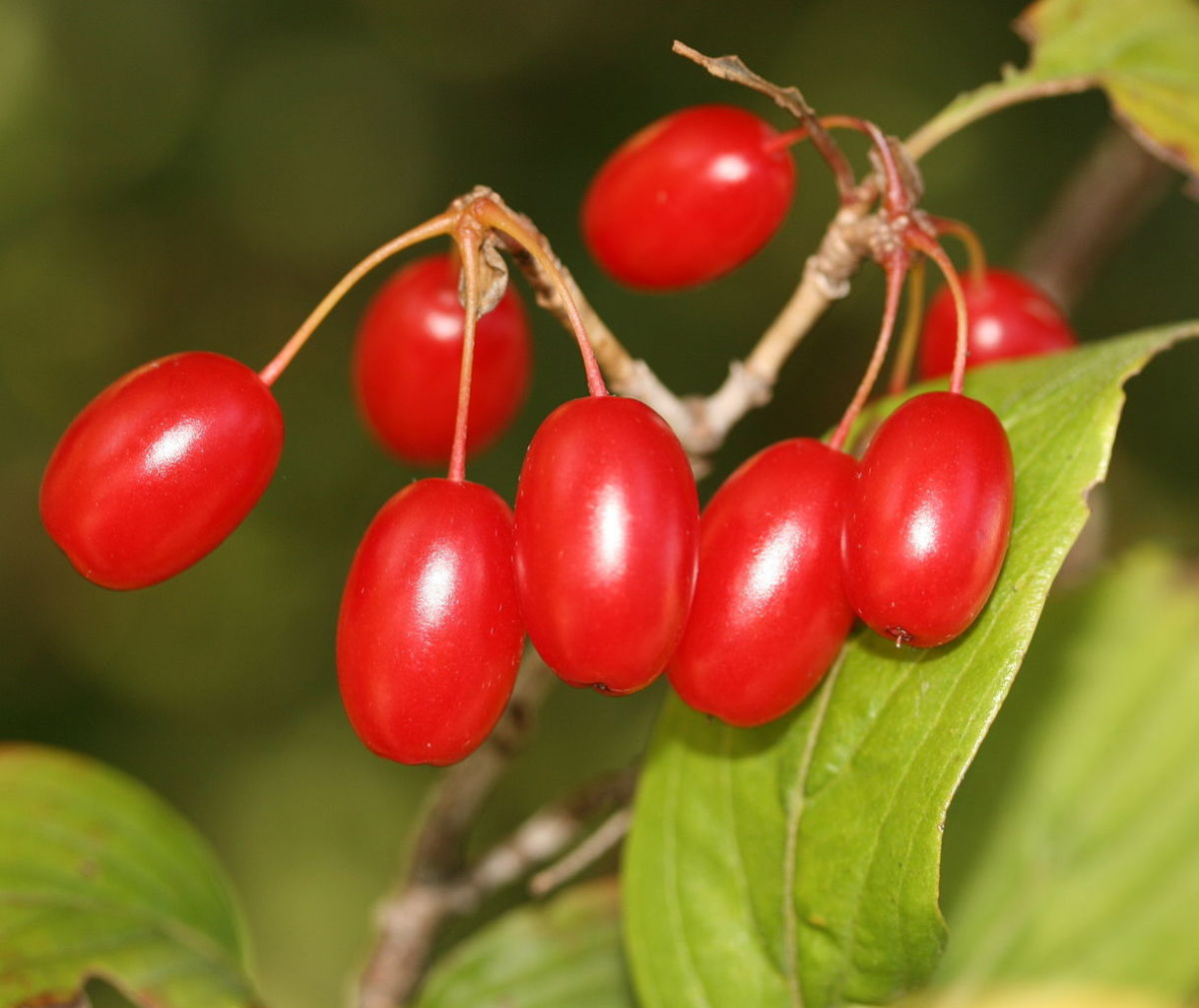 Dogwood fruits