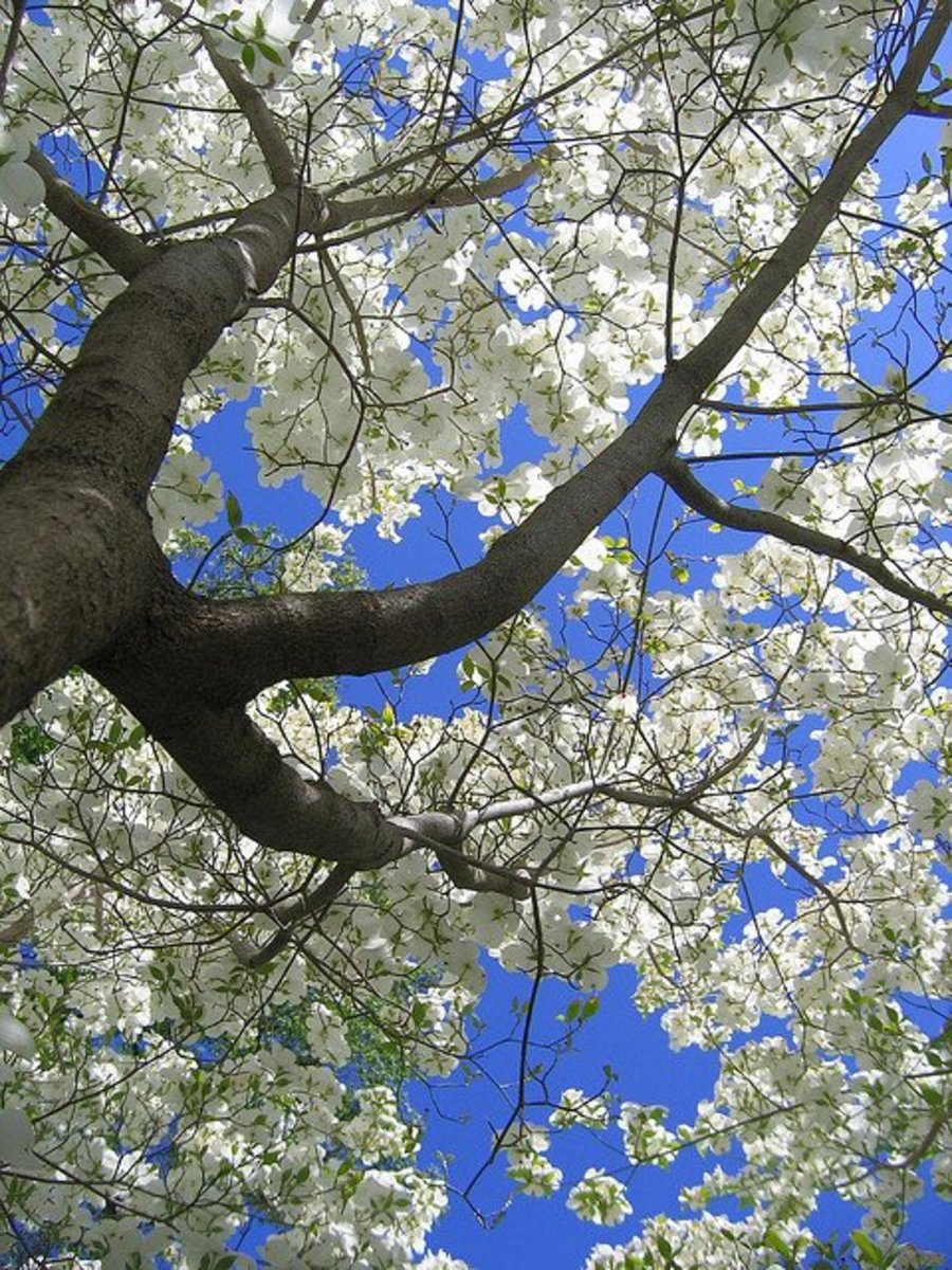 White flowering dogwood tree