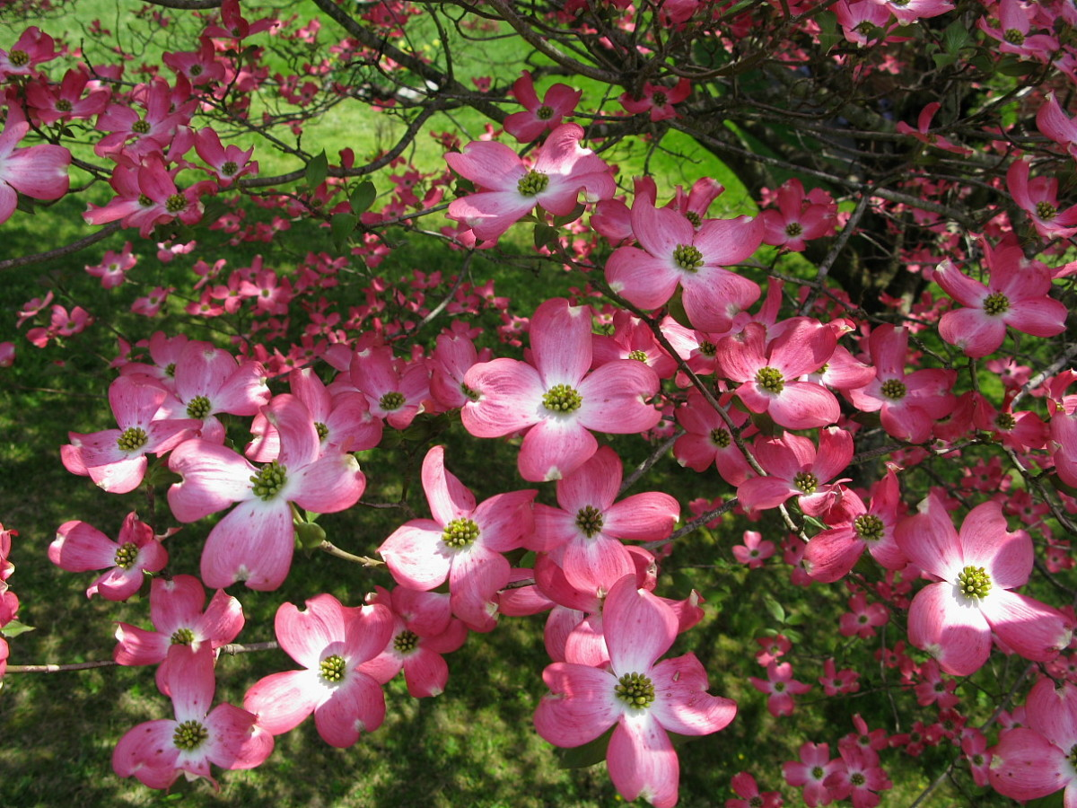 Dogwood tree blooms add color and grace to yards and landscapes.