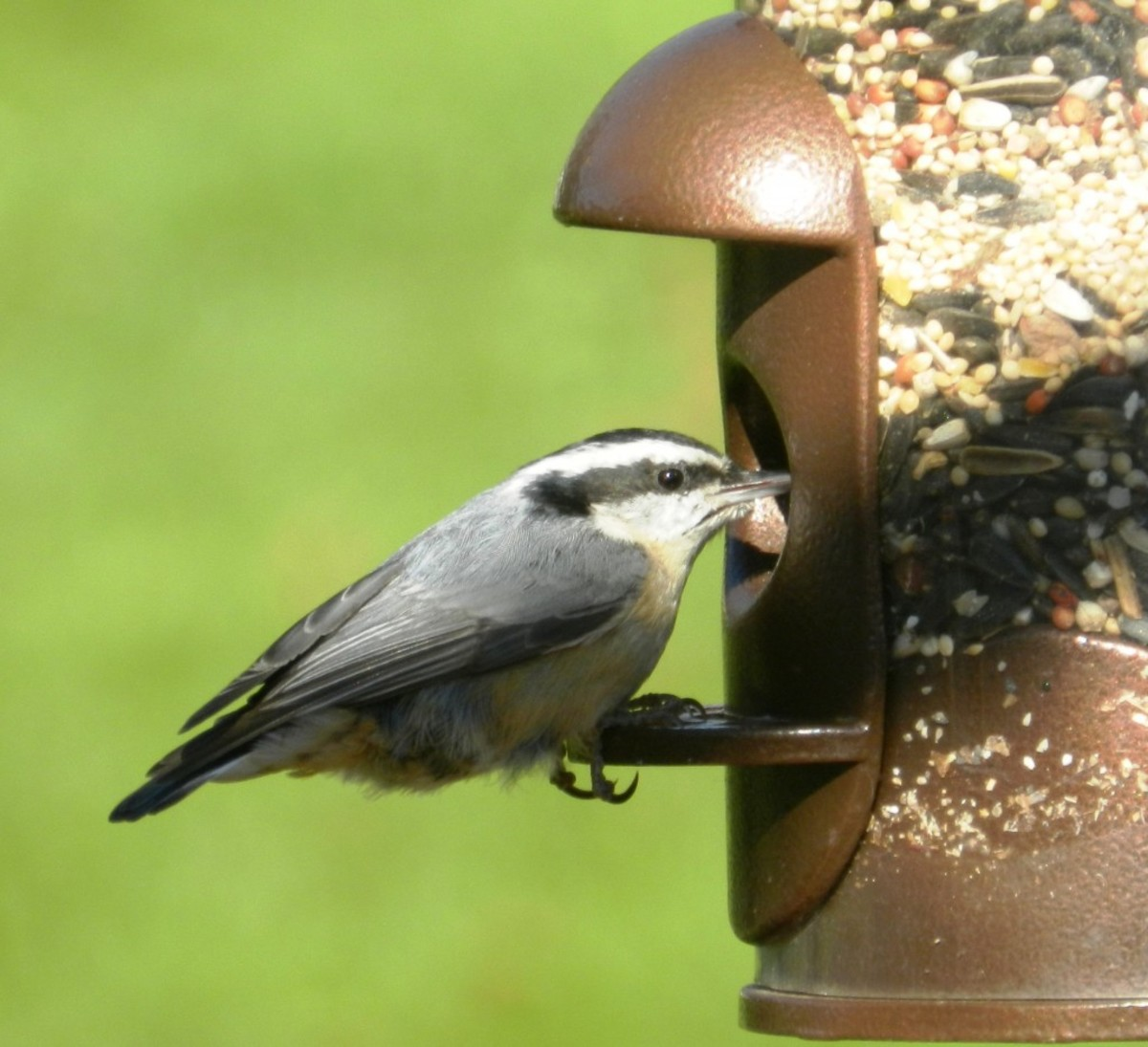 Red-Breasted Nuthatch at Feeder