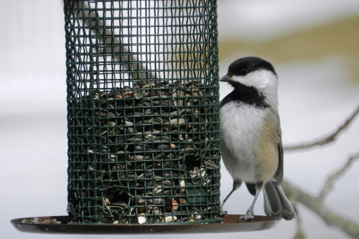 Black-Capped Chickadee at  Feeder
