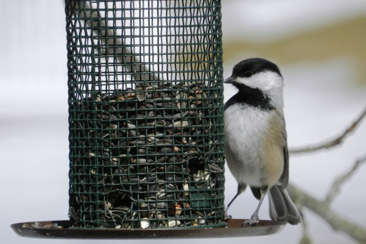 Black-Capped Chickadee at  Feeder