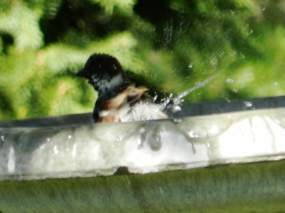 Songbirds will appreciate a water source such as a bird bath.