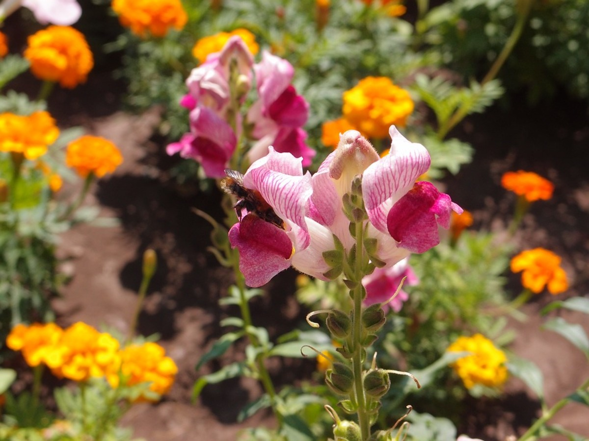 Snapdragons are usually pollinated by bumblebees.