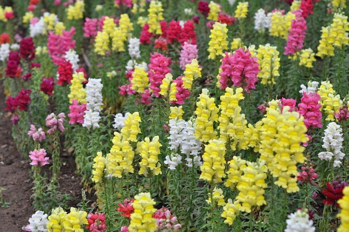 How to Grow Snapdragons, a Cottage Garden Favorite