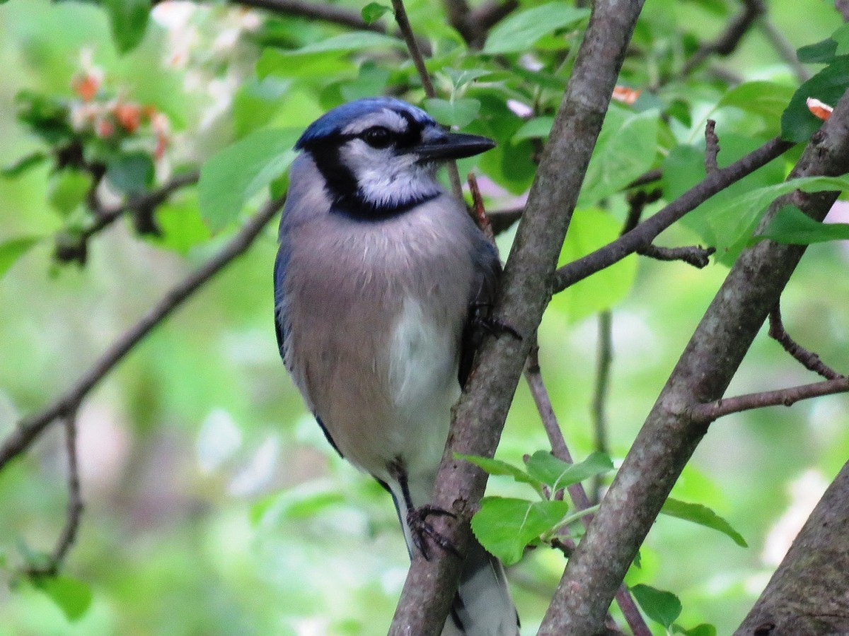 Blue Jays often bully smaller birds away from birdfeeders.