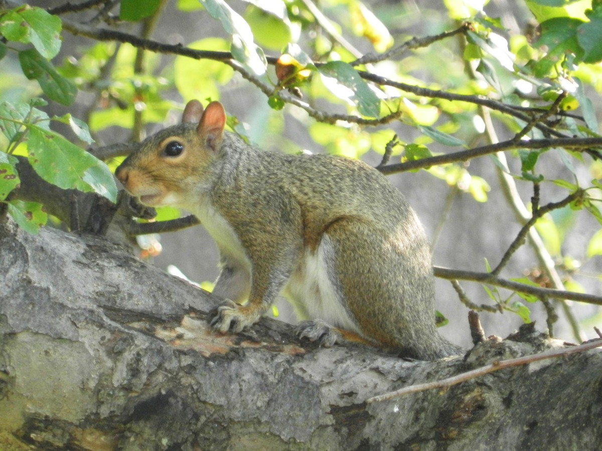 The gray squirrel is just one of the unwanted visitors who will come to your bird feeder.