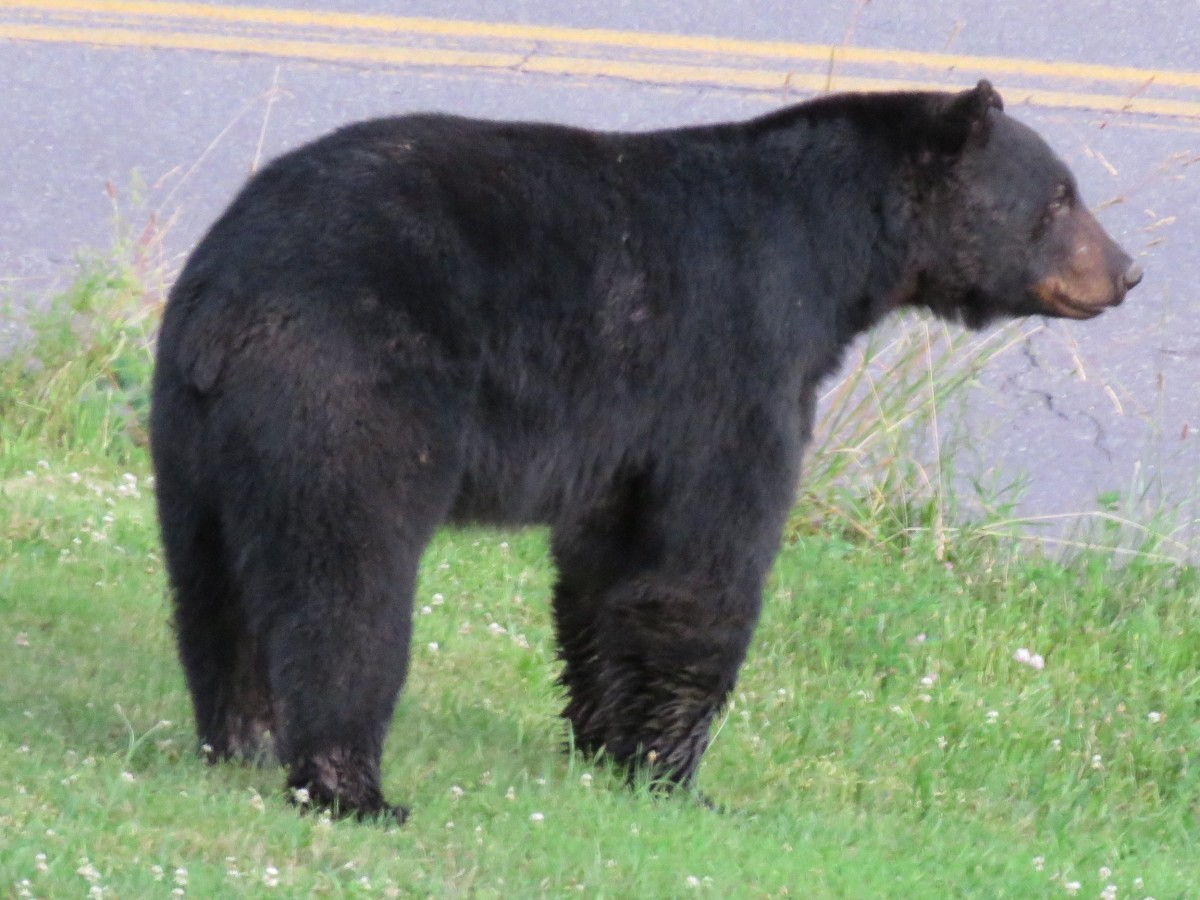 Black bears are common in many rural areas.