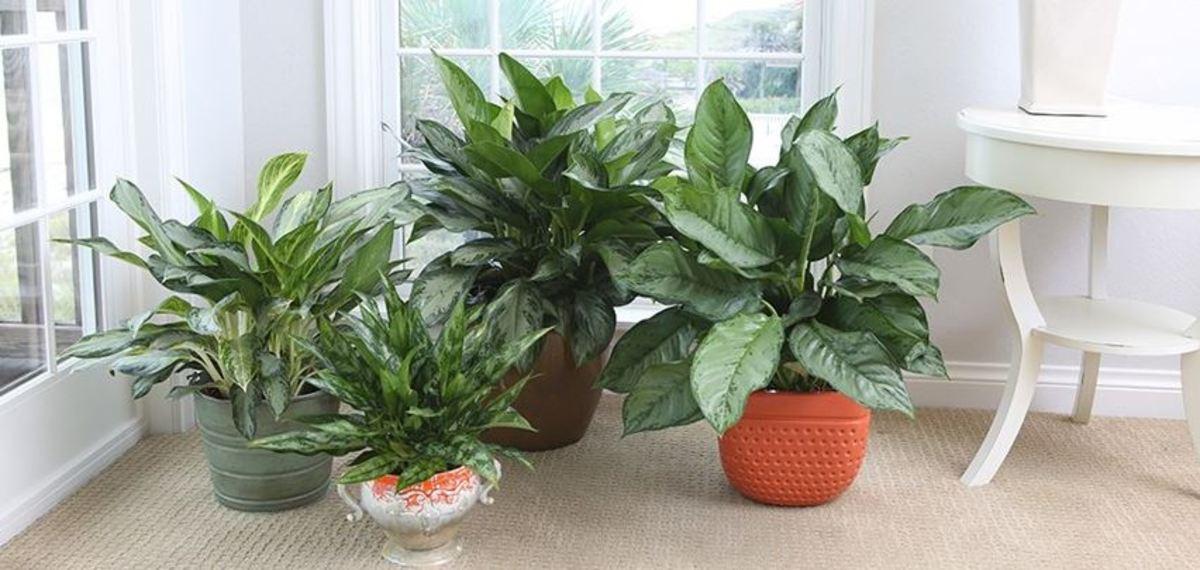 Aglaonema: A Beautiful, Easy Plant to Grow
