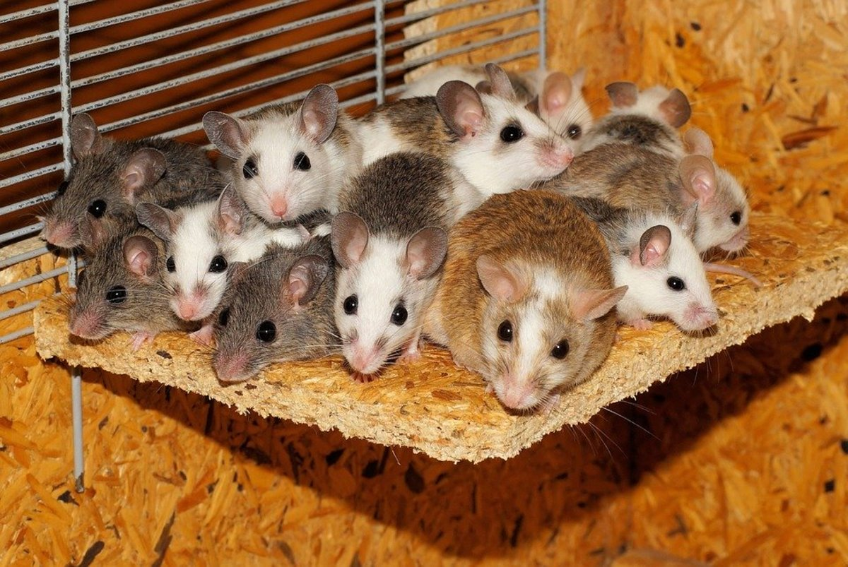 humane way to get rid of mice and rats