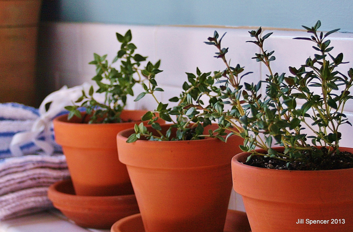 Because clay pots don't hold water, allowing good drainage, many herbs grow well in them.