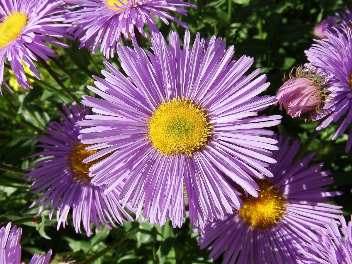 Cultivated Michaelmas daisies