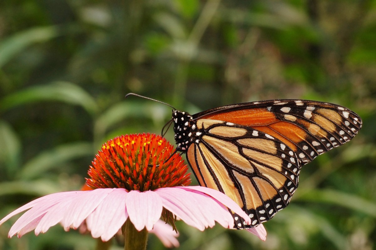 A monarch butterfly on a purple coneflower, or Echinacea purpurea