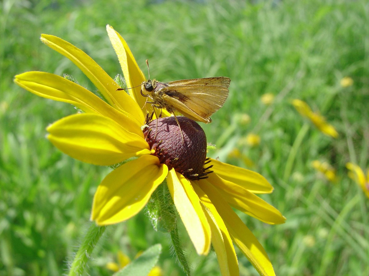 A Delaware skipper butterfly on a black-eyed Susan flower
