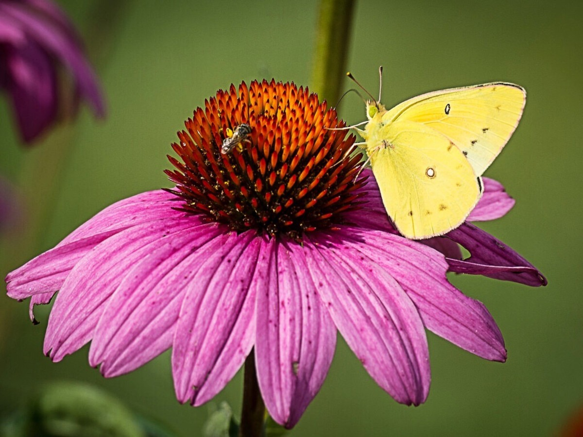 A butterfly on a coneflower in a botanical garden