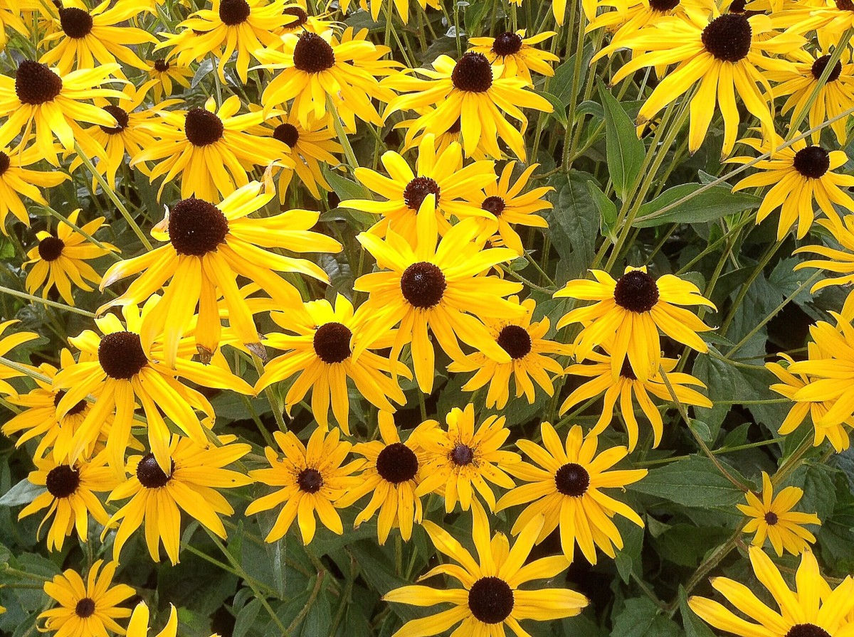 Black-eyed Susans in a botanical garden