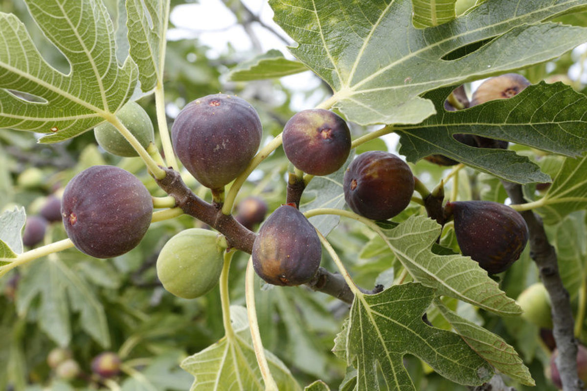 Growing Figs in the Southeast