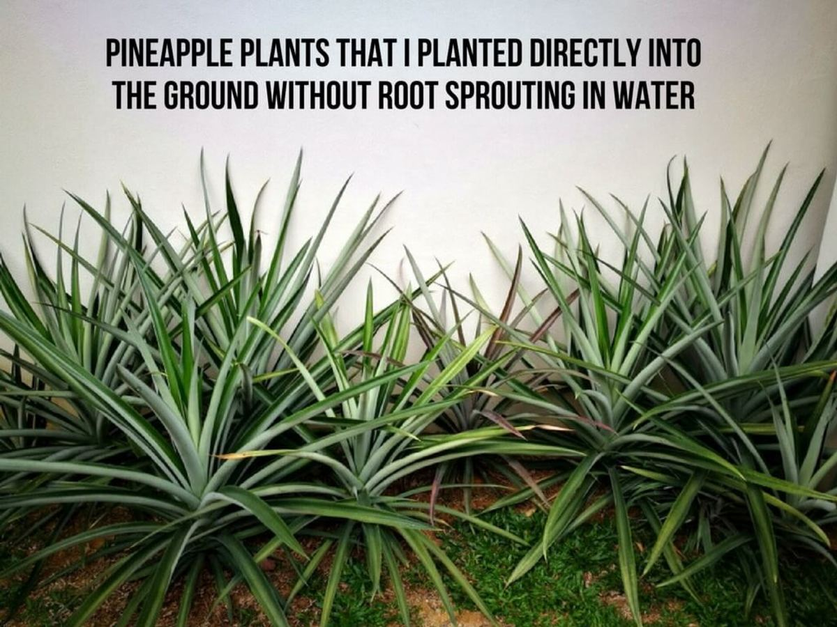 Pineapple plants that I planted near my house