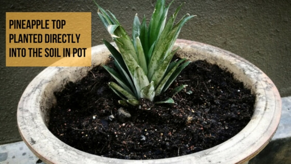 How to Grow Pineapple from Top