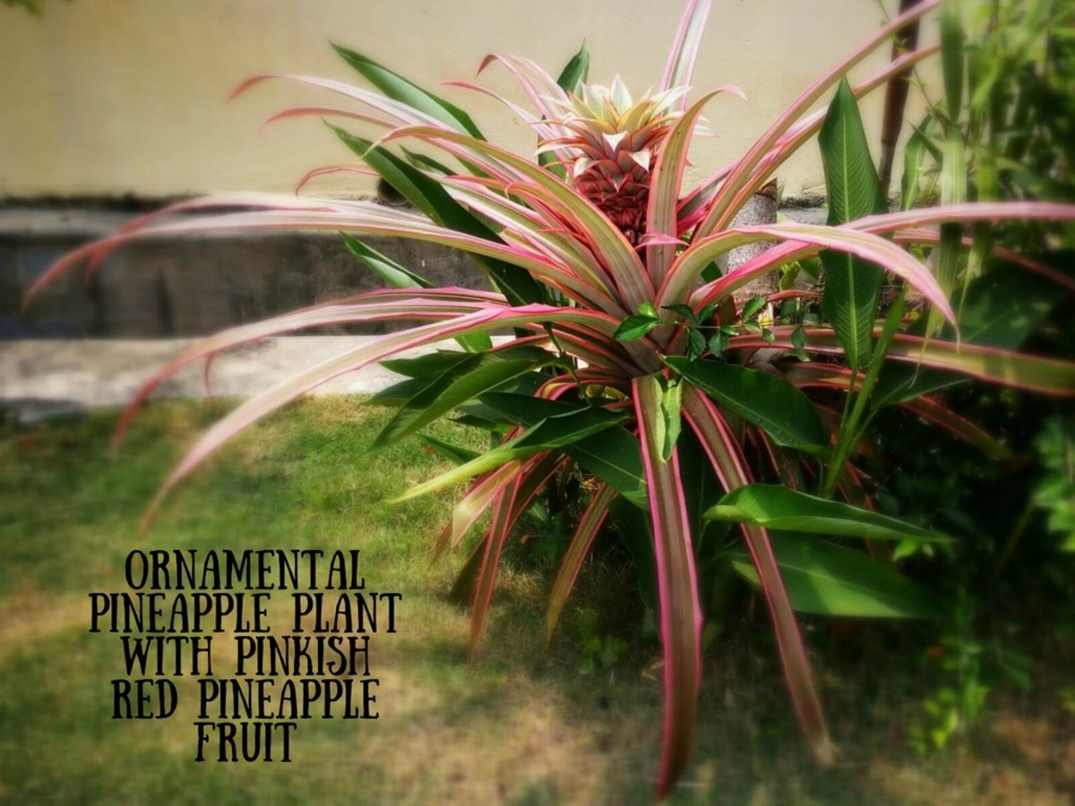 Ornamental Pineapple with Pink Leaves and Pinkish Red Fruit