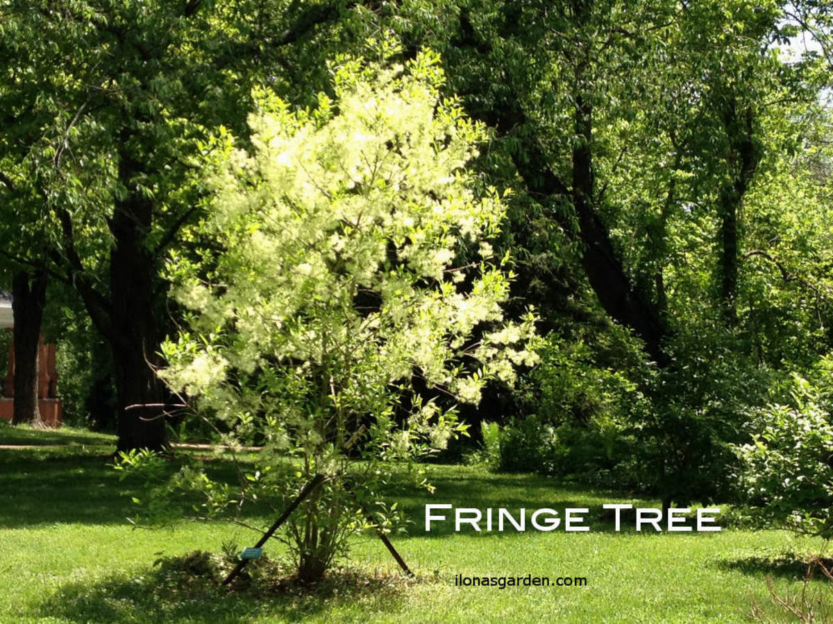 Fringetree is a native shrub/ornamental tree which produces berries for wildlife. Official name, Chionanthus virginicus