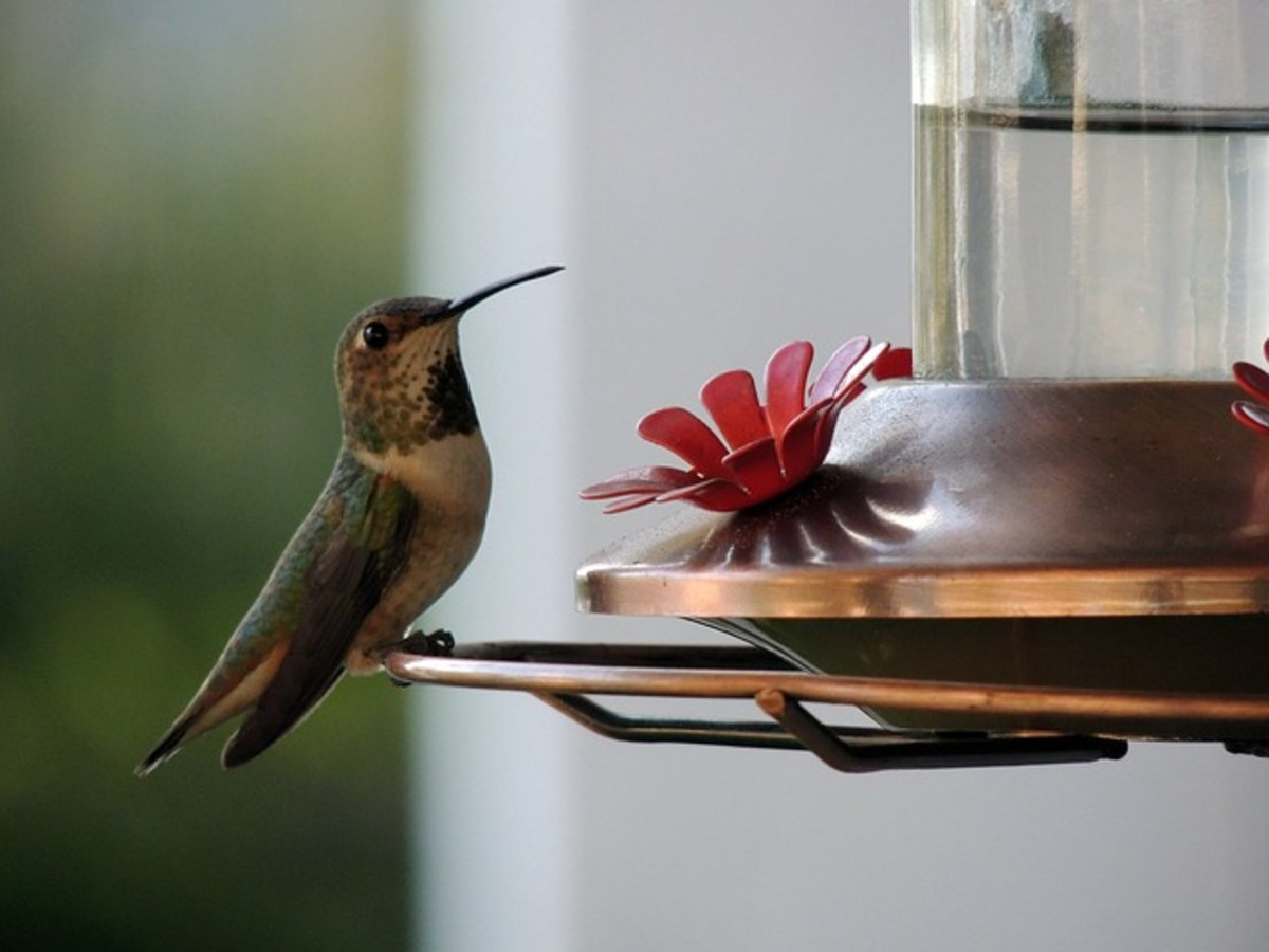 Tiny Hummingbird Drawn to the Promise of Nectar