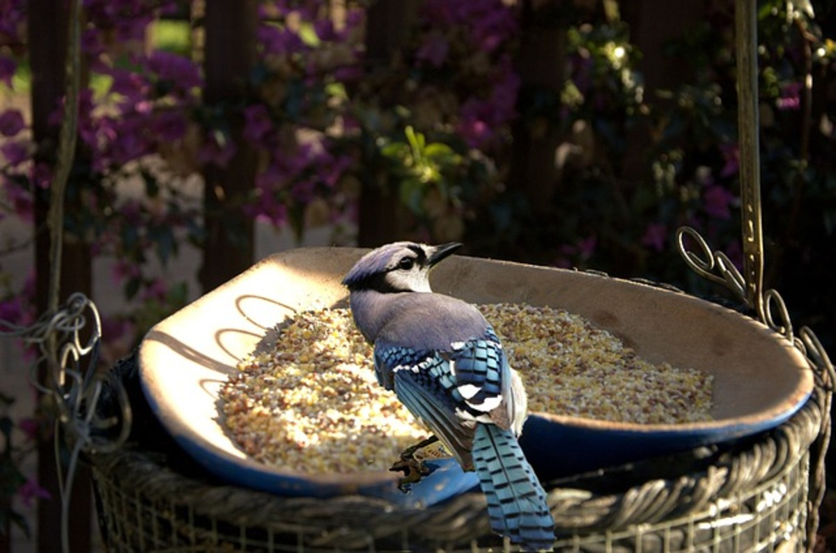Eastern Blue Jays Will Frequent Feeders