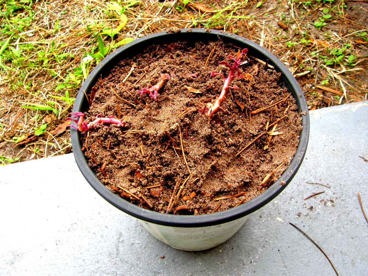 "I used the ""Stick it in a Pot and Forget about it"" method. You can see the sprouts of the three pieces here buried in some compost."