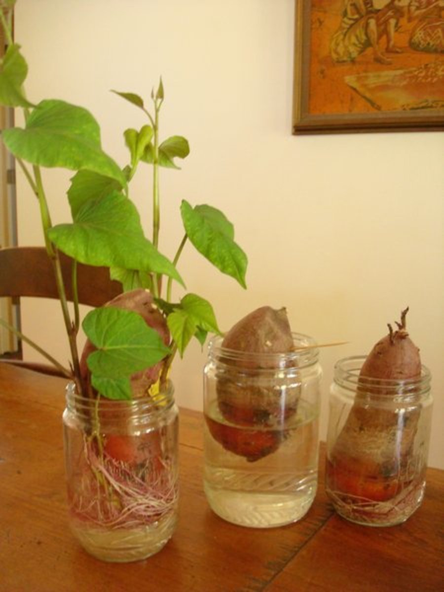 Sweet potato slips started using the water in a jar method