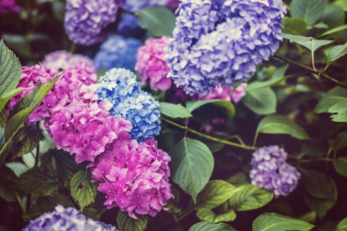 How to Use Rooting Hormone to Propagate Hydrangeas