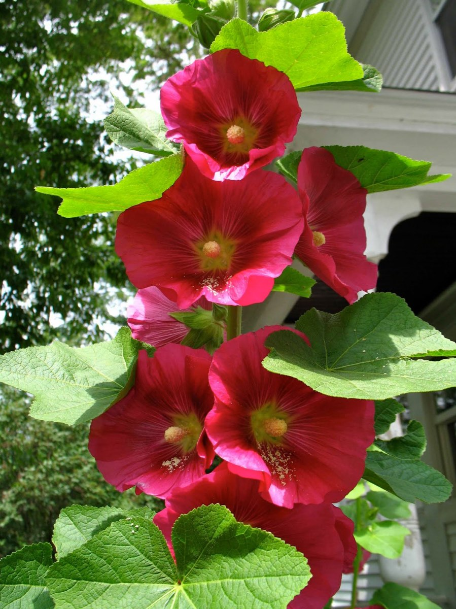 With only a few pests visible, the gardener that grew these hollyhocks was quite lucky.