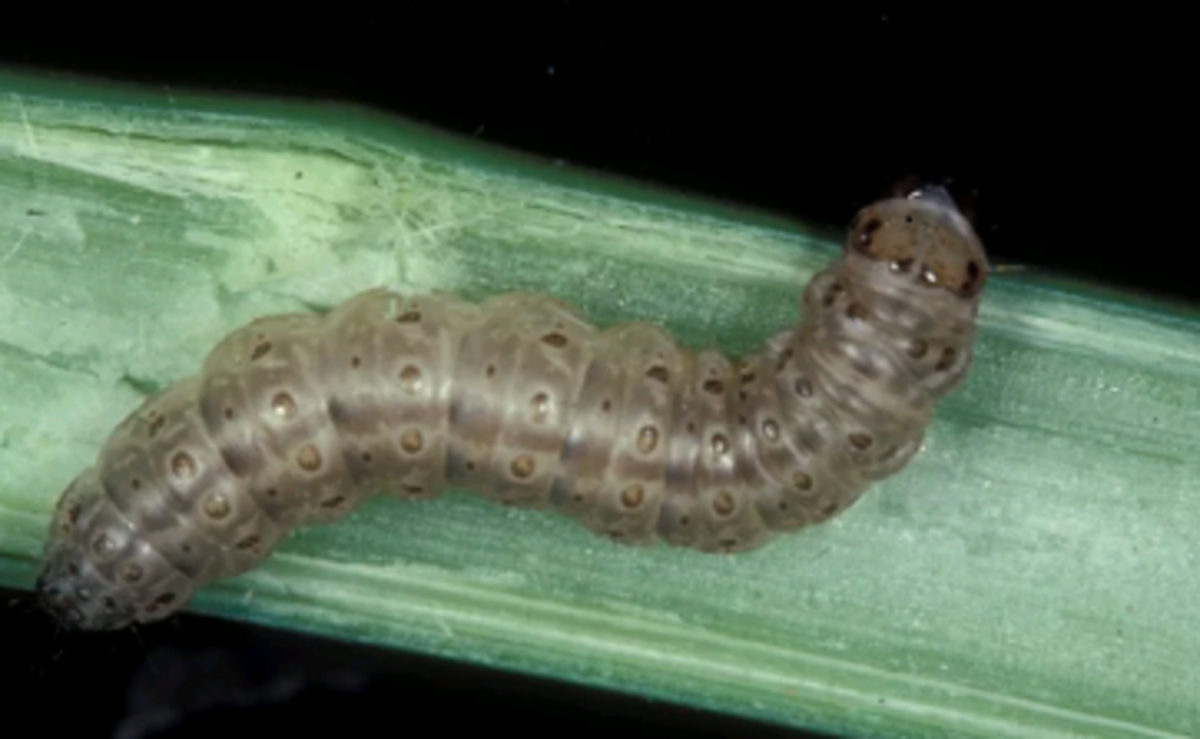 european corn borer on a vegetable stem